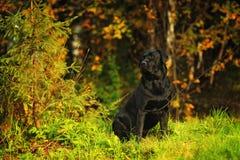 Labrador nel legno Fotografie Stock
