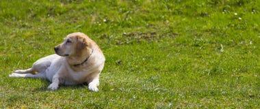 Labrador nel prato Fotografia Stock Libera da Diritti