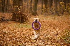 Labrador nella foresta di autunno Fotografia Stock Libera da Diritti