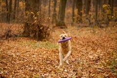 Labrador nella foresta di autunno Immagine Stock Libera da Diritti