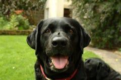 Labrador nero Fotografie Stock Libere da Diritti