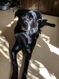 Labrador nero fotografie stock