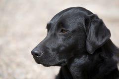 Labrador nero Immagine Stock Libera da Diritti