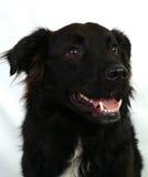 Labrador nero Fotografia Stock
