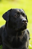 Labrador nero Fotografia Stock Libera da Diritti