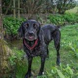Labrador nero bagnato con la lingua che colpisce fuori immagini stock libere da diritti