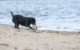 Labrador nero che va a prendere bastone sulla spiaggia Fotografie Stock