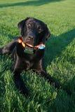 Labrador nero con il collare della rete fissa. Fotografie Stock