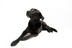 Labrador nero davanti a bianco Fotografia Stock Libera da Diritti
