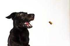 Labrador nero davanti a bianco Immagini Stock