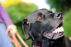 Labrador nero fuori per una camminata Immagine Stock Libera da Diritti