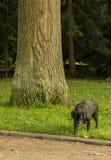 Labrador nero viene da un albero Fotografia Stock
