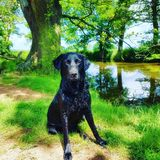 Labrador next to the wishing pond royalty free stock photography