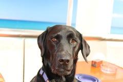 Labrador. Stock Photo