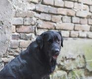 Labrador noir Image libre de droits