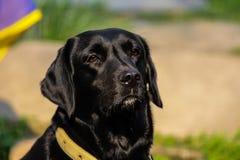 Labrador noir Photographie stock libre de droits