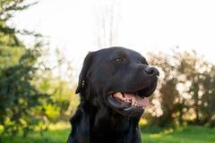Labrador noir Photo stock