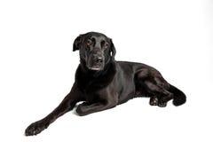 Labrador noir devant le blanc Photo libre de droits