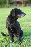 Labrador noir deviennent confus. photographie stock