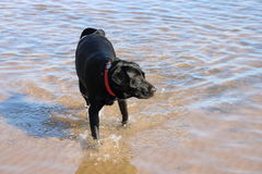 Labrador noir en rivière peu profonde Photographie stock libre de droits