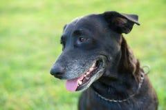 Labrador noir mignon photographie stock libre de droits