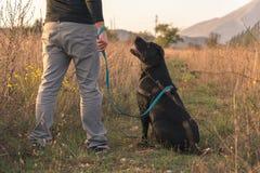 Labrador noir regardant le propriétaire Photos libres de droits