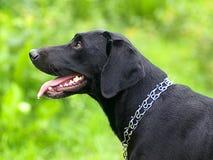 Labrador noir regarde fatigué Image stock