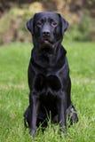 Labrador noir se reposant sur l'herbe verte Image stock