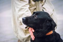 Labrador noir stitting à côté de son propriétaire Amour, fidélité et confiance entre les hommes et le concept de chiens Photographie stock
