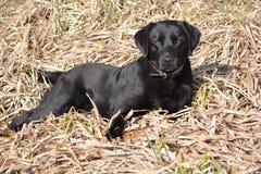 Labrador noir - yeux bruns Photo libre de droits