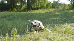 Labrador o retriver de oro que come el palillo de madera al aire libre Chew animal y morder un palillo en la naturaleza Perro que