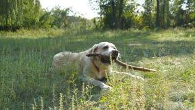 Labrador o retriver dorato che mangia bastone di legno all'aperto Masticazione animale e mordere un bastone alla natura Cane che  Fotografia Stock Libera da Diritti