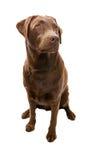 Labrador obéissant regardant outre de l'appareil-photo Image libre de droits
