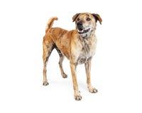 Labrador och Chow Dog Standing Happy Expression Arkivbilder
