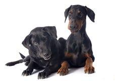 Labrador och dobermann Fotografering för Bildbyråer