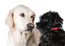 Labrador och miniatyrschnauzer Royaltyfri Bild