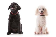 Labrador och pudel - litet gulligt Royaltyfri Foto