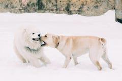Labrador och Samoyed för två fullblod Arkivfoton