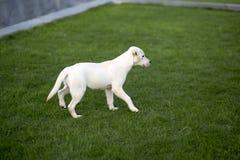 Labrador Odzyskuje zdjęcie royalty free