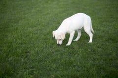 Labrador Odzyskuje obrazy stock