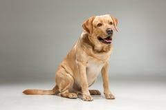 Labrador odzyskuje na szarym tle Obraz Royalty Free