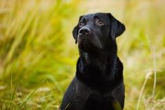 Labrador olha culpadamente em seu mestre Imagem de Stock Royalty Free