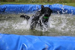 Labrador ont l'amusement dans la piscine Photo stock