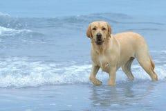 Labrador op het strand stock foto