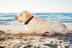 Labrador op het strand stock foto's
