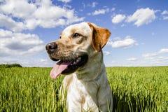 Labrador op tarwegebied stock afbeeldingen