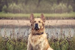 Labrador Outdoors. Golden Retriever on the nature and leisure Royalty Free Stock Images