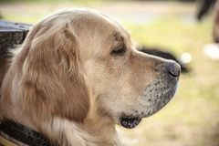 Labrador Outdoors. Golden Retriever on the nature and leisure Royalty Free Stock Photos