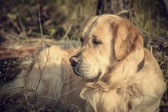Labrador Outdoors. Golden Retriever on the nature and leisure Royalty Free Stock Photo