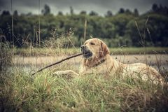 Labrador Outdoors. Golden Retriever on the nature and leisure Royalty Free Stock Photography